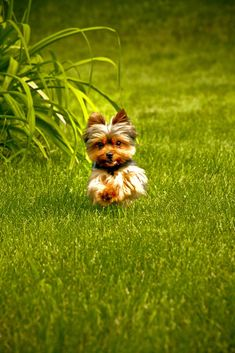 I took a picture of my Yorkie just Like this! They are free spirits