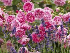 Jardins anglais - rose David Austin
