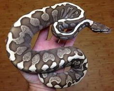 No idea what morph this is... but it really looks cool.
