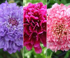 Scabiosa. Pincushion Flower