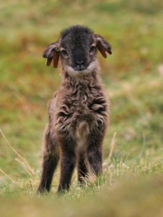 "Oh hai .......a Soay lamb from Scotland! I want to love him and squish him and call him ""George!"""