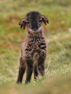 Soay lamb from Scotland!