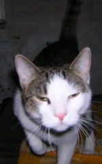 Davis is is a grey striped and white tabby.  He is active, curious and affectionate, but not a lap cat.Miles is also affectionate and curious and is the lap cat of the two. Miles is cross between orange and buff. Not  buff - not orange, something in...