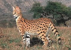 African Servals, The Little Cats Of Africa, Serval Photos