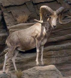 Argali or the mountain sheep