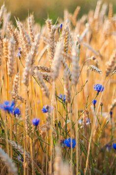Kornfeld - Weizenfeld mit Kornblume / Cornfield - Wheatfield with Cornflower