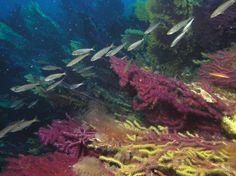 Under the sea of Isole Tremiti (Italy)