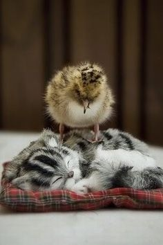 kitten with baby chicken