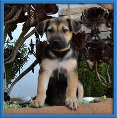Kassie is an adoptable German Shepherd Dog Dog in Stanton, CA. For the most current information and if Kassieis still available to adopt please copy the link below into your broswer and visit our webs...