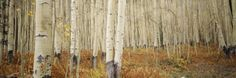 Aspen Trees in the Forest, Aspen, Colorado, USA Wall Decal