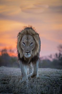 Lion Dusk by Keith Connelly