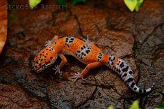 Fancy African Fat Tail Gecko Live Reptiles PetSmart