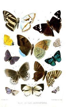 File:Lepidoptera3Cooke.jpg