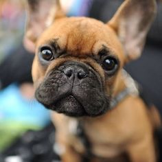 'Cutie Pie', French Bulldog Puppy.