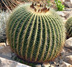 Big Prickly Barrel  Cactus !
