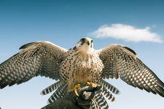 Peregrine Falcon taking flight on top of Grouse Mountain.