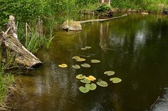 Backyard Fish Farming - small pond with yellow pond lilies, cattails, and bluegill fish