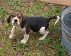 Also known as the English Coonhound, the Treeing Walker Coonhound is passionate about hunting. On top of that, this dog also makes an excellent family pet. Hound Puppies, Hound Dog, Dogs And Puppies, Doggies, Baby Dogs, Treeing Walker Coonhound, Walker Hound, Walker Dog, Dog Lady