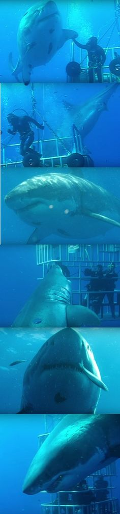 World's Largest Shark: 7-Metre-Long 'Deep Blue' Believed To Be Biggest Ever (VIDEO)