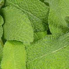 Sage   Plant Capsule for Smart Garden   Plantui Sage Plant, Plant Leaves, Salvia Officinalis, Smart Garden, Big Leaves, Dry Leaf, Potpourri, Herbs, Plants