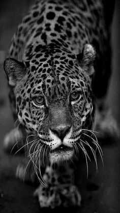 Image IMG 4424 in Wild cats album Animals And Pets, Funny Animals, Cute Animals, Beautiful Creatures, Animals Beautiful, Gato Grande, Spiritual Animal, Wild Photography, Leopard Tattoos