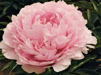 """""""Pillow Talk"""" peony. I have this and it is fantastic!"""