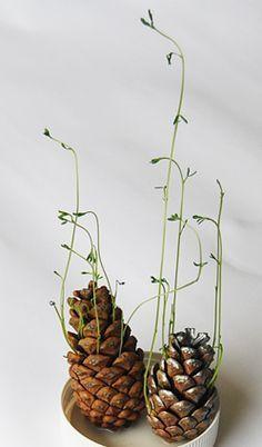 Visste du att man kan gro vanliga tallkottar! Allt man behöver är en kotte, liten kruka och jord... här har man även lagt in lite m... #indoorgardening
