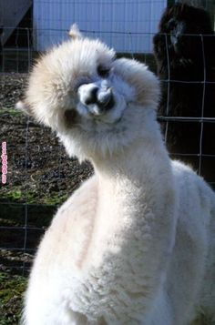 What a personnel alpaca's have. What a personnel alpaca's have. Cute Funny Animals, Funny Animal Pictures, Cute Baby Animals, Animals And Pets, Llama Pictures, Alpacas, Lama Animal, Cute Alpaca, Alpaca Funny