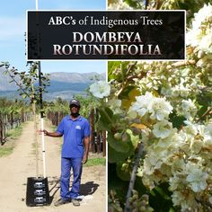 The Dombeya rotundifolia is also known as the Wild Pear tree. Although it is of no relation to the pear family, this fast-growing deciduous tree attracts bees and butterflies and is beautiful addition to any garden with its splendid scented flowers!