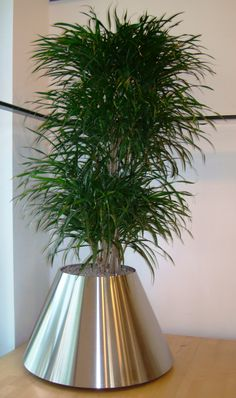 Dracaena Anita in brushed stainless steel container
