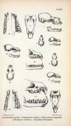 Bat Anatomy, Bat Teeth & Jaw