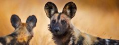 African wild dogs in Kruger National Park, South Africa - Once distributed across the grasslands of Sub-Saharan Africa, these wild dogs are losing habitat at a rate fast enough that they're now found mostly in the southern regions of the continent. African wild dogs form strong social bonds within packs, which, here in South Africa's Kruger National Park, include four or five adult dogs and their pups. They're cooperative hunters, revered by the indigenous San tribe of Botswana for their…