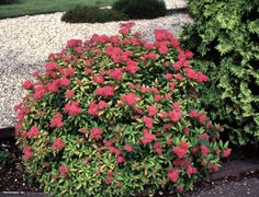 Spiraea japonica 'Goldflame' Japanese Spirea Type Shrub, woody plant Hardy range to Height to / Landscaping Images, Modern Landscaping, Outdoor Landscaping, Landscaping Plants, Front Yard Landscaping, Garden Shrubs, Diy On A Budget, Landscape Design, Landscape Designs