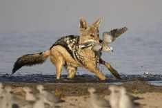 black backed jackal - Google Search
