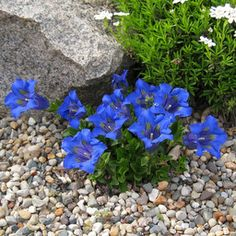 Oh that seductive shade of blue... Gentiana angustifolia Frei Hybrid