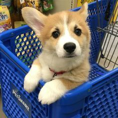 Ideas Baby Names Welsh Corgi Puppies - Baby Baby Baby - Puppies Cute Corgi Puppy, Corgi Funny, Corgi Dog, Dog Cat, Baby Corgi, Husky Puppy, Baby Puppies, Cute Puppies, Cute Dogs
