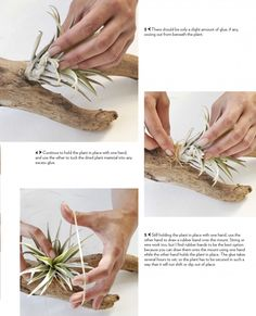 Wood mount with air plant