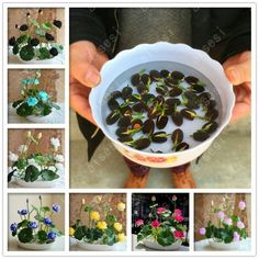Cheap lilies garden, Buy Quality planting flower seeds directly from China lotus seeds Suppliers: hot summer Bowl lotus seeds seedling pots Bonsai wait lily garden aquatic plants flower seeds Plantas Bonsai, Indoor Water Garden, Home Garden Plants, Water Gardens, Lotus Flower Seeds, Flower Pots, Lotus Flowers, Flowers Perennials, Planting Flowers