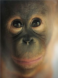 Photo series by Sham Jolimie on plight of primates Primates, Baby Animals, Funny Animals, Cute Animals, Beautiful Creatures, Animals Beautiful, Baby Orangutan, Cute Monkey, Baboon