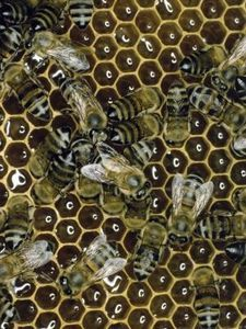 A combination of engineering and hardworking honey bees produces honeycomb, the capital feature of the beehive. The advanced structure consists of flat upright hexagonal cells made from secreted . Top Bar Bee Hive, Honey Uses, Raw Honey, Raising Bees, Honey Bee Hives, Beeswax Lip Balm, Bee Boxes, Bee Farm, Save The Bees