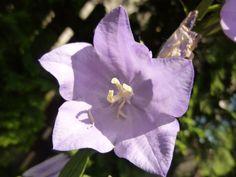 Flower, violet