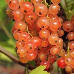 Johannisbeere Rondom (Pflanze)  Ribes rubrum Sorte von 1949. Rondom hat viele Qualitäten: sowohl Massenertrag als auch überzeugender Geschmack. Die einzelnen Beeren sind sehr groß, annähernd 1cm! Sie sind gleichmäßig groß, kugelig, vollreif dunkelrot. Sie halten sich ohne Verlust wochenlang an der Pflanze! Der Vitamin-C Gehalt dieser Sorte ist um etwa 50% höher als bei anderen roten Sorten.
