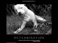 pitbull quotes - Bing Images