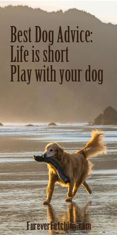 Best Dog Advice: Life is short, play with your dog. #goldenretriever #doglover #goldenretrievergifts #welovegoldens