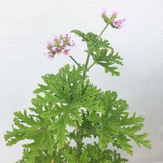 Här får du tips på hur du går tillväga för att få din Dr Wes My Flower, Flower Power, Growing Plants, Geraniums, Hydroponics, Houseplants, Indoor Plants, Garden Landscaping, Outdoor Gardens