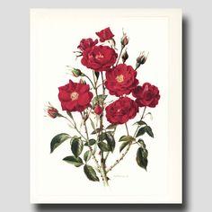 """Alte französische Dekor """"Moulin Rouge"""" der 1960er Jahre rote Rose Kunst, botanische Kunstwerke, Lithographie Drucken Nr. 31"""