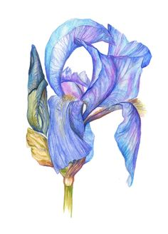 Original Botanical Watercolour Art • Flower Wall Art • Aquarelle • Home Decor • Original Painting and limited edition Giclée prints available Art Aquarelle, Watercolour Art, Decoration Originale, Iris Flowers, Botanical Art, Flower Wall, Giclee Print, Original Paintings, Wall Art