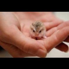 Mini Russian Dwarf Hamster: adorable.