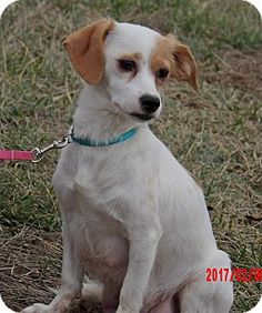 Williamsport, MD - Brittany/Dachshund Mix. Meet Pearl (15 lb) Pure Sweetness, a dog for adoption. http://www.adoptapet.com/pet/17571180-williamsport-maryland-brittany-mix