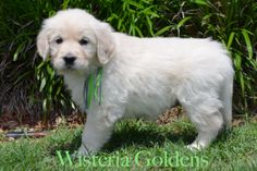 Wisteria Goldens | Zoey Litter